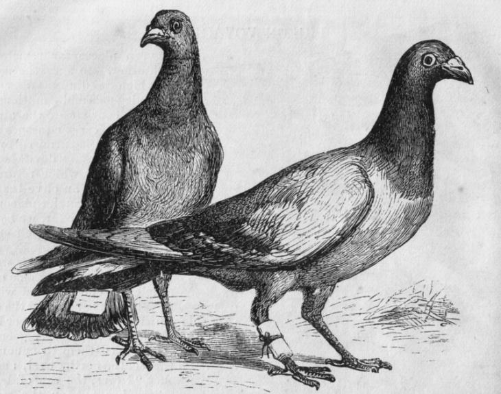 Почтовые голуби с прикрепленными сообщениями